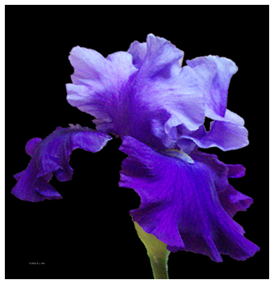 Picture Iris Flower on Rnf Studios   Photography
