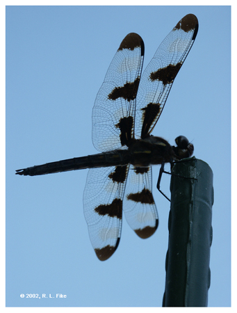 Dragonfly on Blue