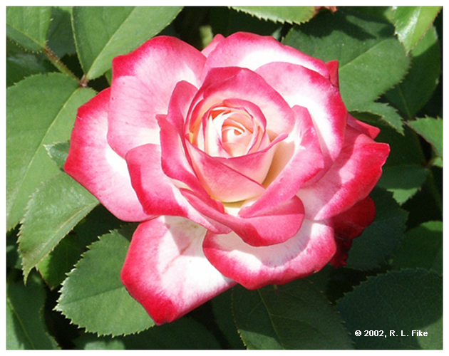 Cherry Parfait Rose with Leaves