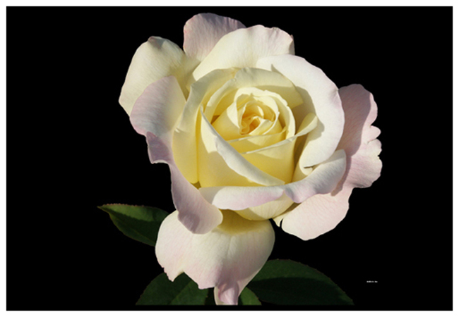 Golden Tea Party Rose 1