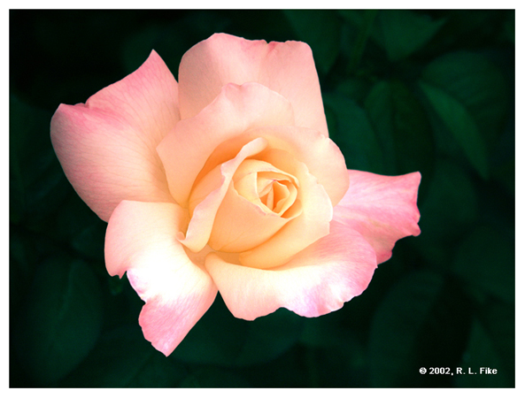 Golden Tea Party Rose 2